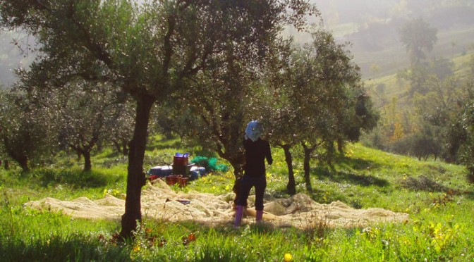 WeBromance — Olive tree adoption both global and local