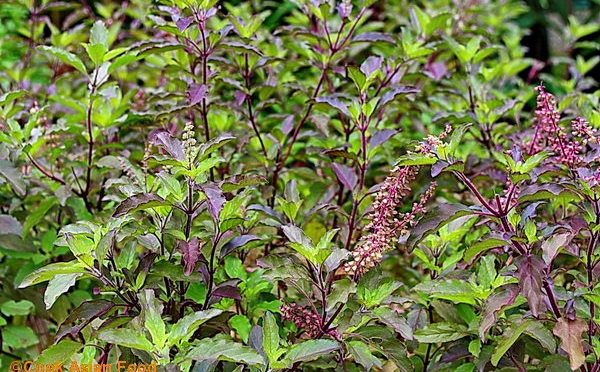 Holy Basil — 'the immaculate one' — added to garden plan