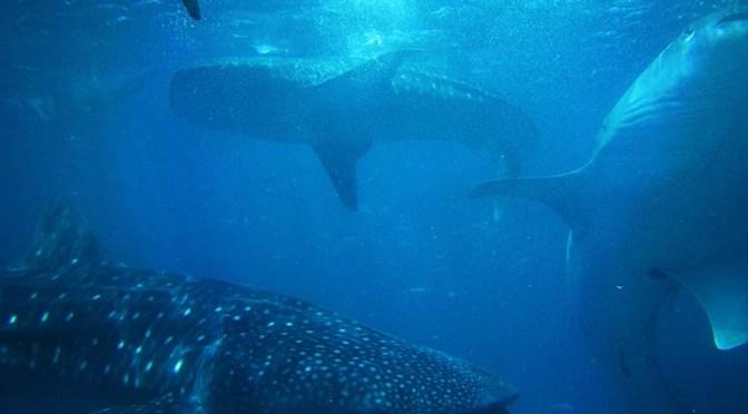 Sustainable surf: Sharks warn of warming threat